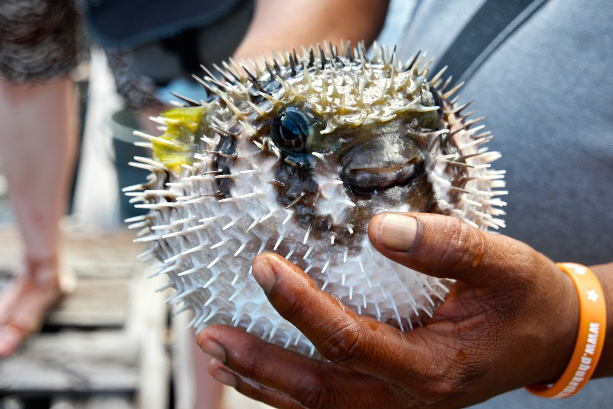 Krabi_Koh-Klang_blowfish