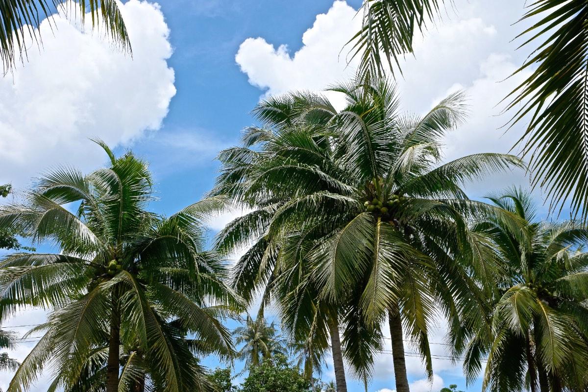Krabi_coconut-palms