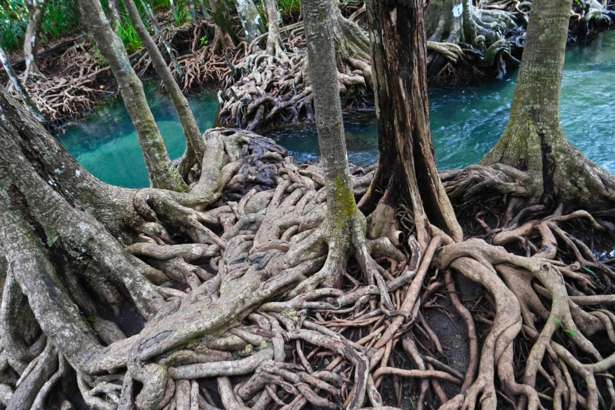 Krabi_mangrove
