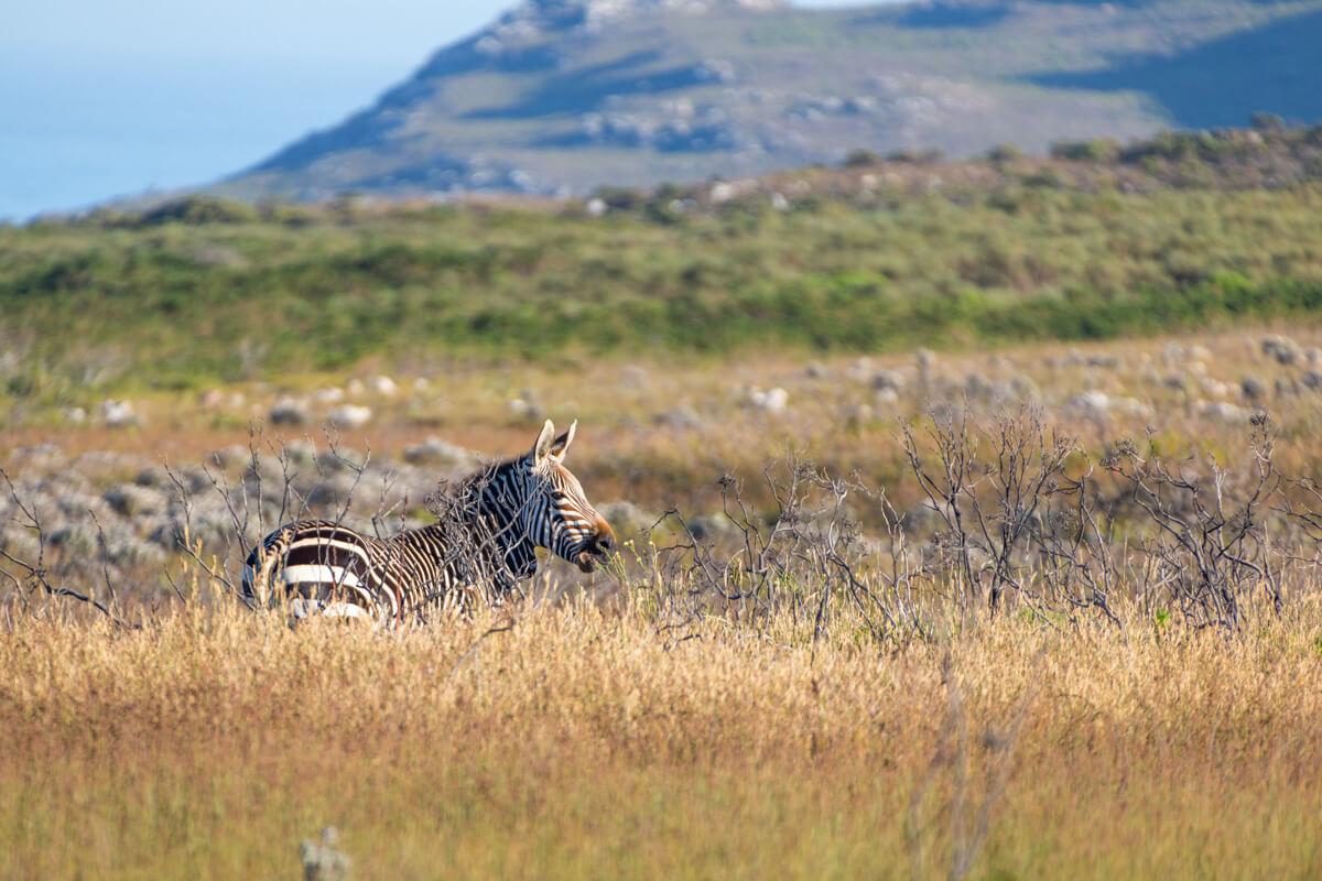 dieren van de Kaap