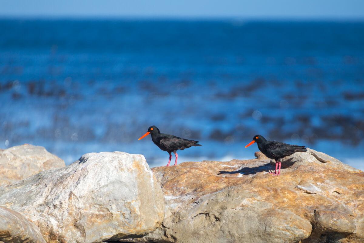 Dieren van Kaap de Goede Hoop