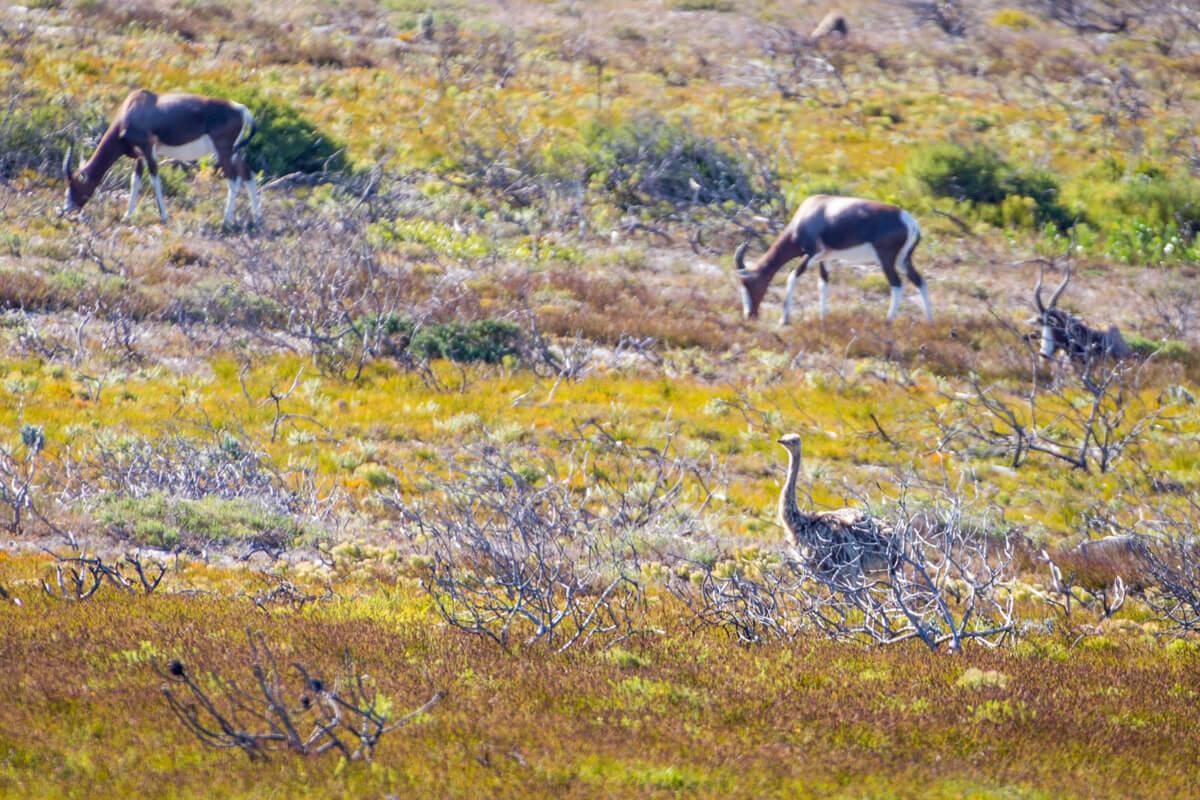 dieren op Kaap de Goede Hoop