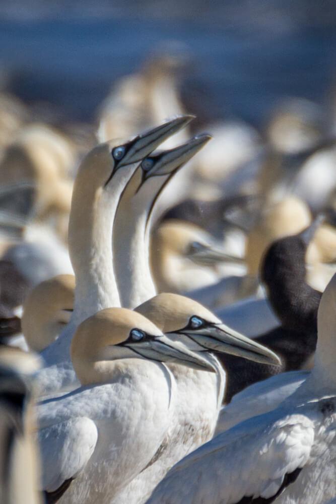 Cape Gannets Lambertsbay