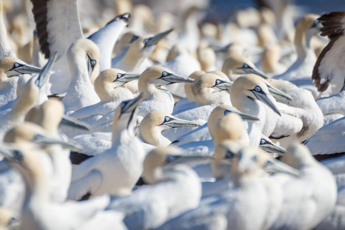 Lamberts Bay Cape Gannets reizen