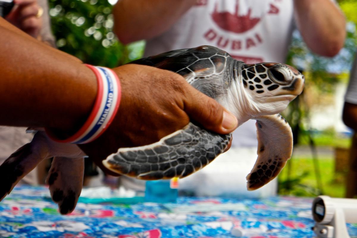 Phang_Nga_turtle2