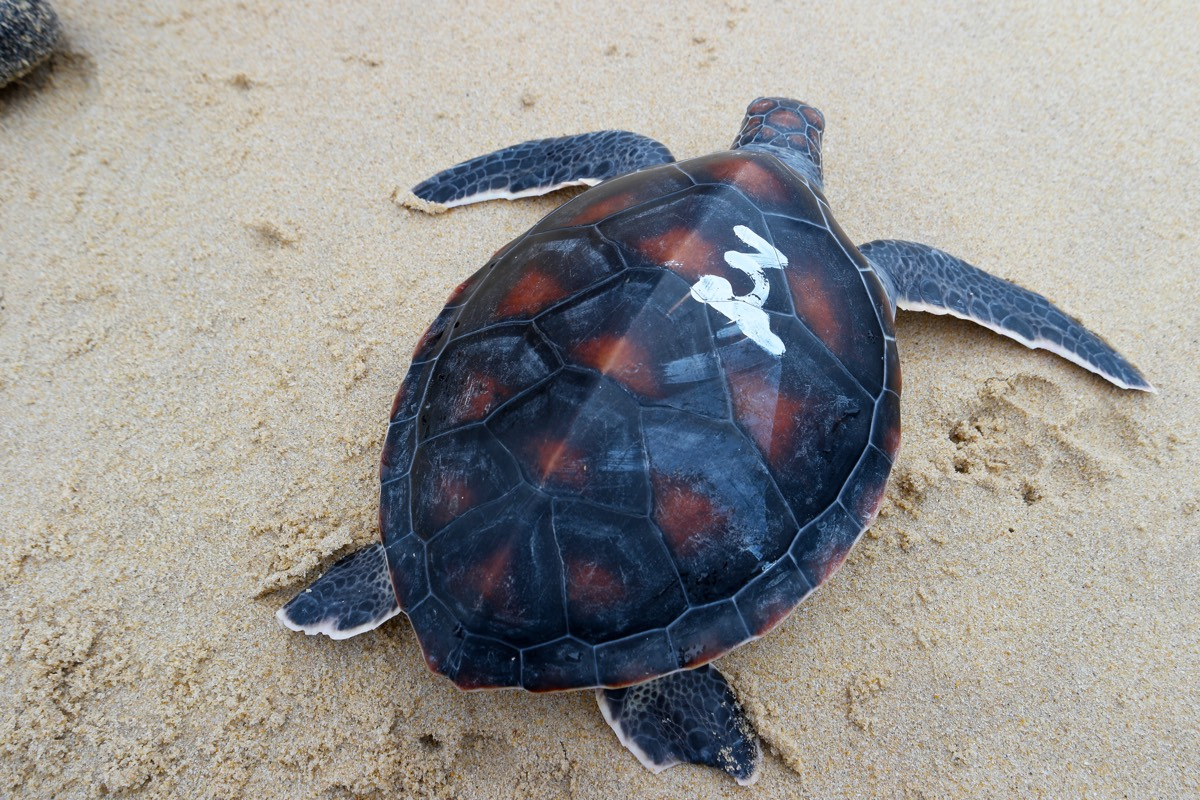 Phang_Nga_turtle_Frankie