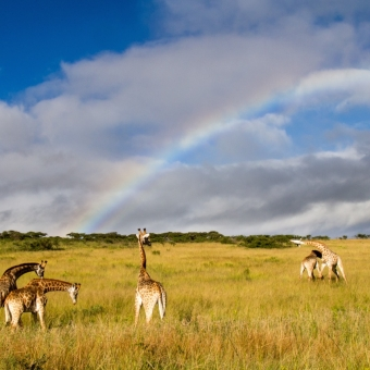 03 dansende giraffen1 Tala Game Reserve.jpg