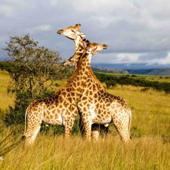 03 dansende giraffen2 Tala Game Reserve.jpg