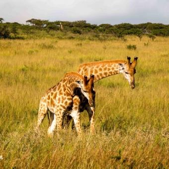 03 dansende giraffen3 Tala Game Reserve.jpg