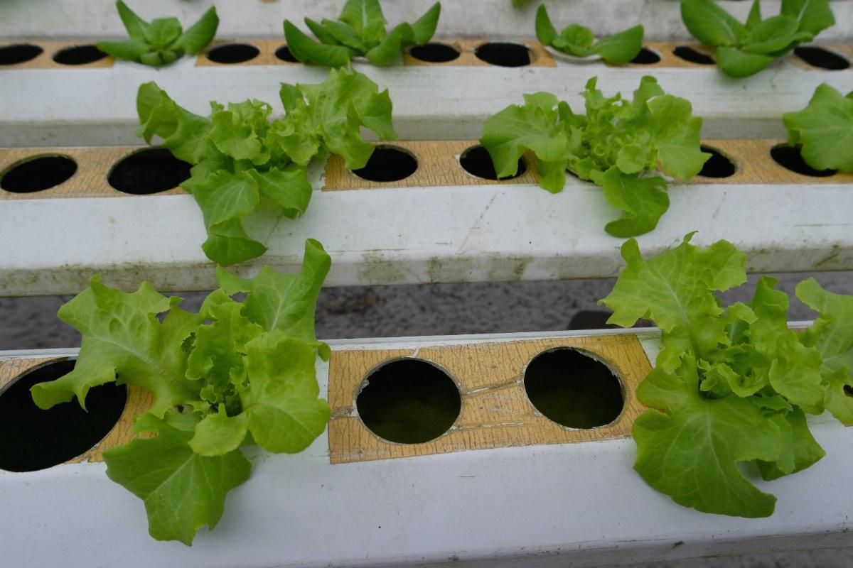 Phang_Nga_hydroponic_lettuce