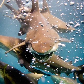 shark dive-9